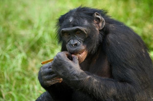 Porträt von bonobos. nahansicht. demokratische republik kongo. lola ya bonobo nationalpark.