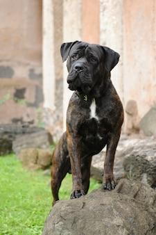 Porträt von corso dog, italienische hunderasse