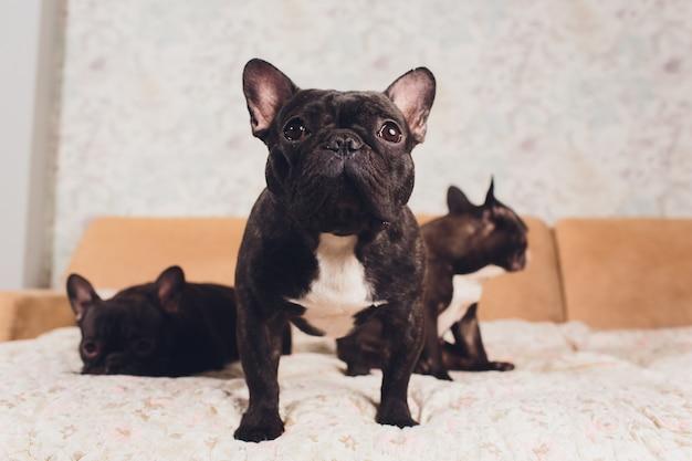 Porträt von drei entzückenden französischen bulldoggen, die in eine richtung schauen.