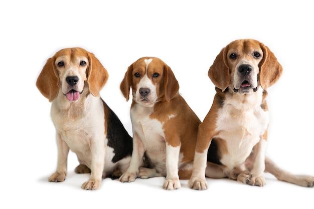 Porträt von drei niedlichen beagle, die auf dem boden lokalisiert auf weiß sitzen