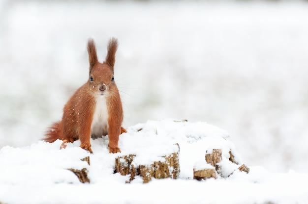 Porträt von eichhörnchen schließen auf einem hintergrund des weißen schnees