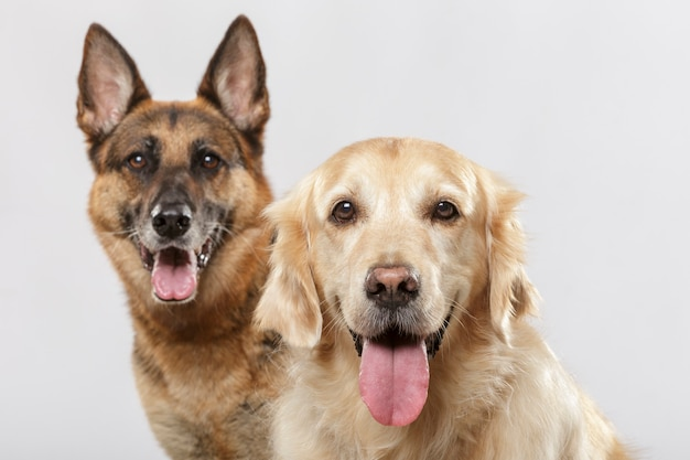 Porträt von ein paar ausdrucksstarken hunden, einem deutschen schäferhund und einem golden retriever-hund vor weißem hintergrund