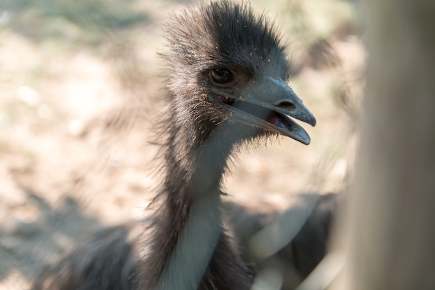 Porträt von emu vogel am zoo