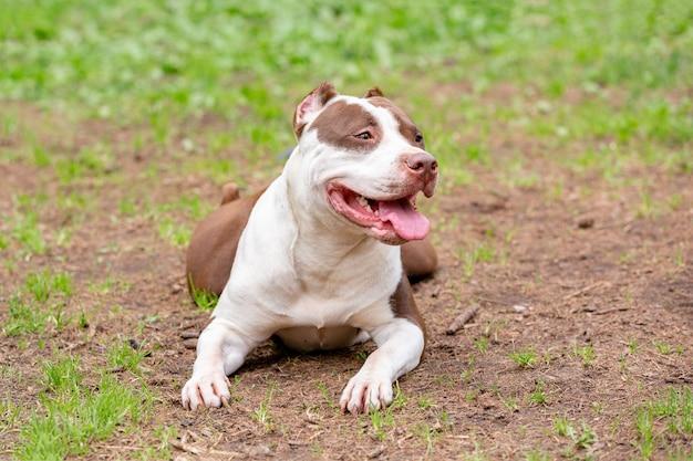 Porträt von kampfhunden für einen spaziergang im park. stier