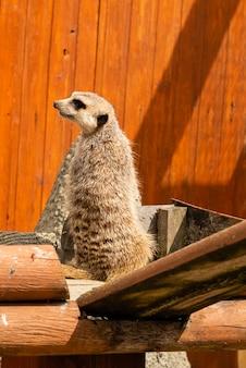 Porträt von meerkat suricata, afrikanisches gebürtiges tier
