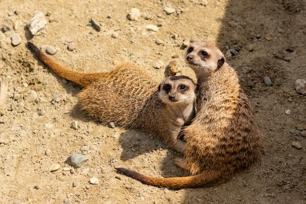 Porträt von meerkat suricata