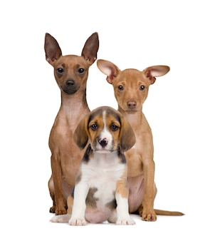 Porträt von miniatur pinschers und beagle welpen sitzen