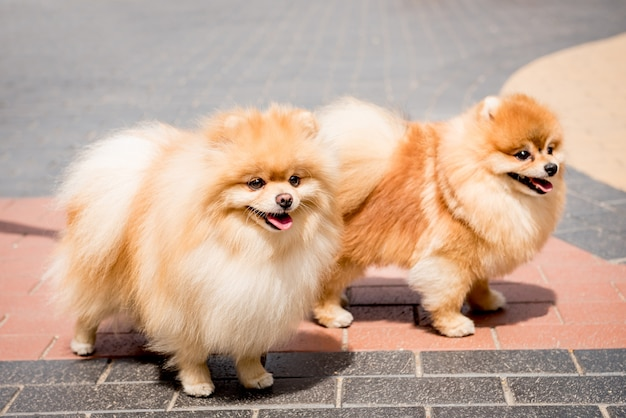 Porträt von niedlichen zwei pommerschen hunden am park.