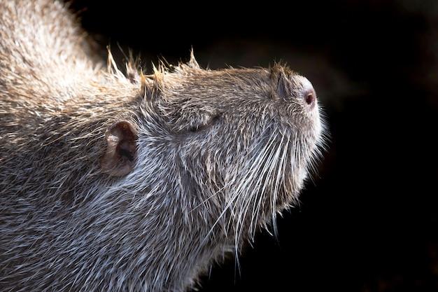 Porträt von nutria in profilnahaufnahme auf schwarz isoliert
