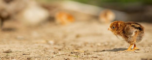 Porträt von ostern kleines flauschiges gelbes huhn, das im hof des dorfes an einem sonnigen frühlingstag geht