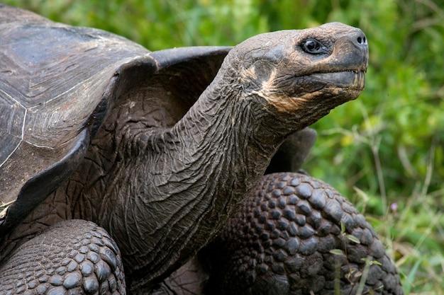 Porträt von riesenschildkröten