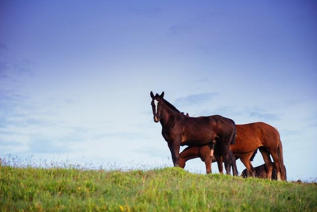 Porträt von schönen pferden auf der weide