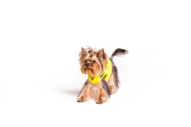 Porträt von yorkshire-terrier lokalisiert über weißem hintergrund