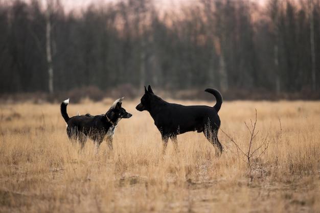 Porträt von zwei niedlichen mischlingshunden, die sich gegenseitig schnüffeln und sich auf der sonnigen herbstwiese kennenlernen.