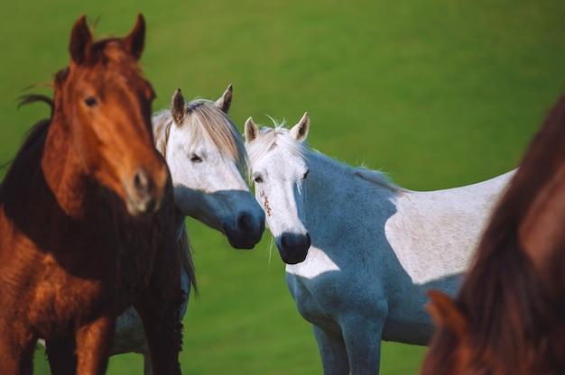 Porträt von zwei weißen pferden, die in einer herde befreundet sind, auf grünem hintergrund