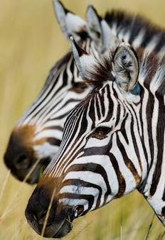 Porträt von zwei zebras. kenia. tansania. nationalpark. serengeti. maasai mara.