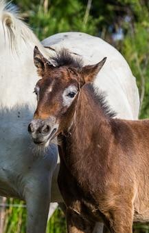 Porträt weißes camargue-pferdefohlen