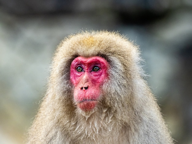 Porträtaufnahme eines erwachsenen japanischen makaken