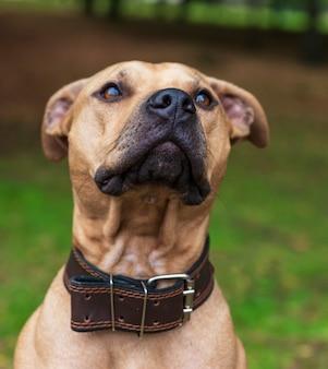 Porträtbrauner amerikanischer pitbullterrier