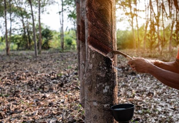 Porträtgärtner mann klopfen latex aus einem gummibaum aus thailand