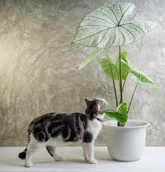 Porträtkatze auf holztisch mit luftreinigenden zimmerpflanzen caladium bicolor vent, araceae, engelsflügel, elefantenohr in weißem topfzementwandhintergrund