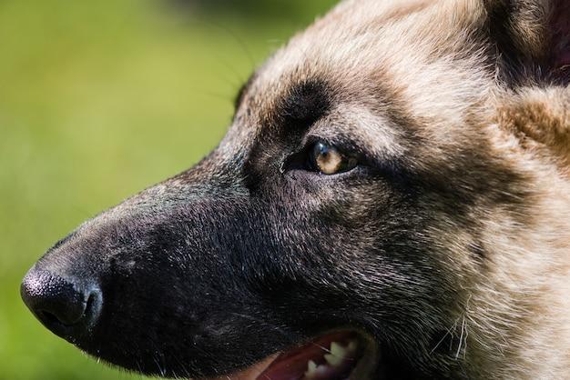 Porträtmakro des welpenhundehaustieres nah oben