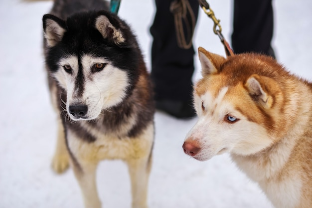 Porträts von sportschlitten-husky-hunden. working mushing dogs des nordens.