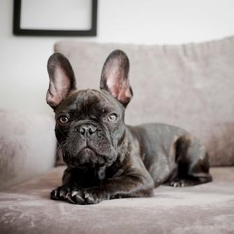 Portrait der netten französischen bulldogge