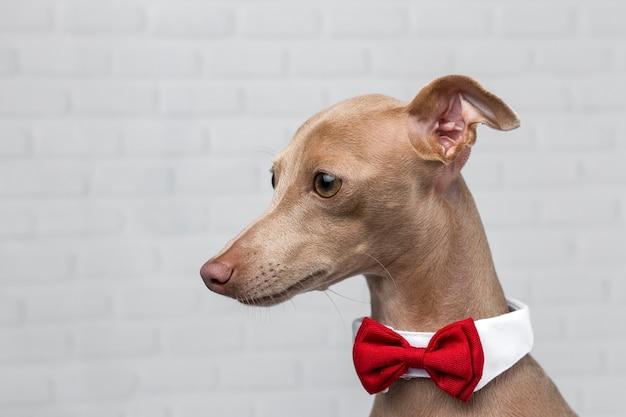 Portrait des kleinen hundes des italienischen windhunds