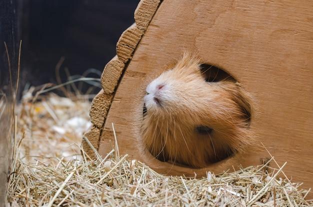 Portrait des netten roten meerschweinchens.