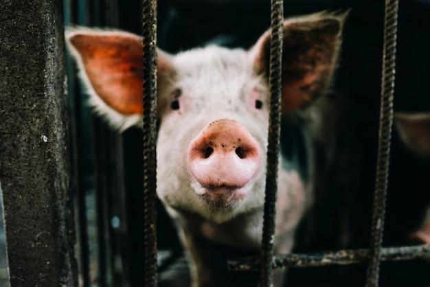 Portrait des rosafarbenen ferkels im käfig