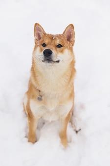 Portrait des schönen gebürtigen reinrassigen hundes. shiba inu, das auf das schneebedeckte feld geht