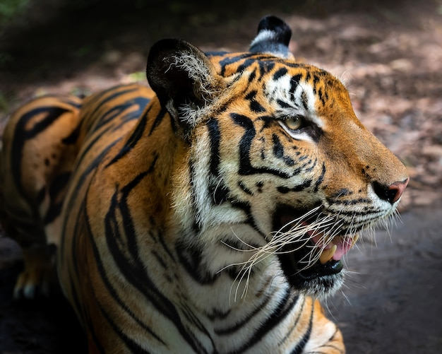 Portrait des tigers.
