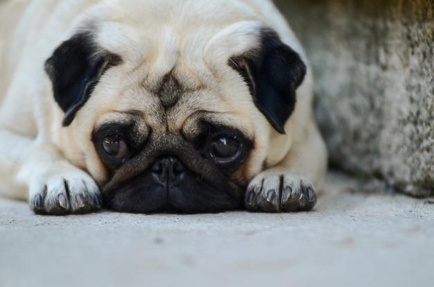 Portrait des traurigen pughundes