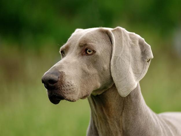 Portrait des weimaraner hundes