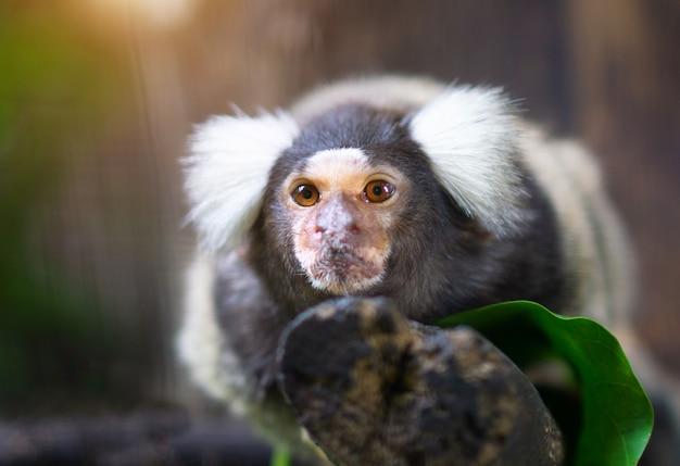 Portrait des weißen büscheligen-ohrigen marmoset