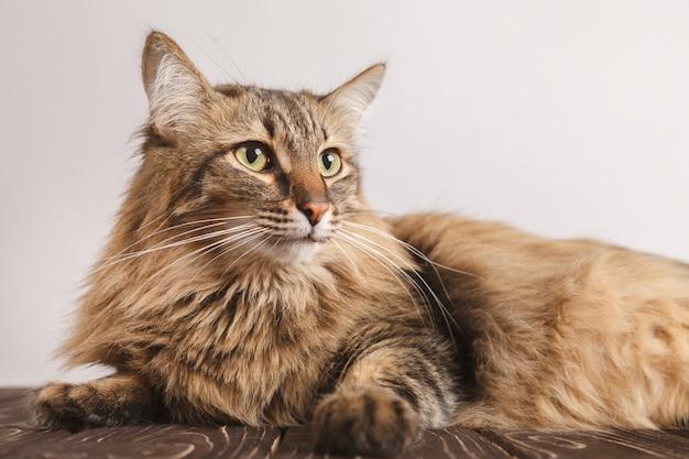 Portrait einer gestreiften flaumigen katze. graues gestreiftes nettes katzenlügen