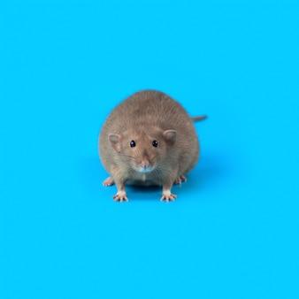 Portrait einer inländischen ratte auf blau