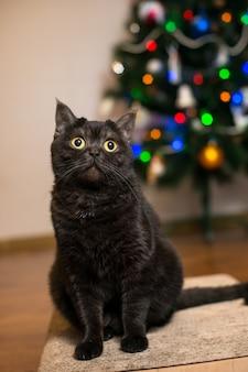 Portrait einer katze. schottisch kurzhaar-hübsche braune damenkatze auf dem hintergrund des weihnachtsbaums