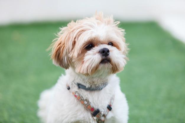 Portrait eines entzückenden shih-tzu hundes