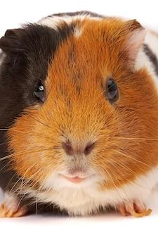 Portrait eines meerschweinchens.