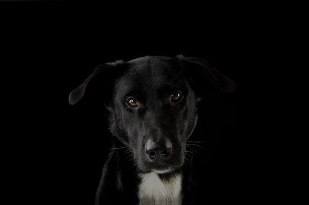 Portrait eines schwarzen hundes, der die kamera mit ernster ausdruck und gelben augen betrachtet. getrennt gegen schwarzen hintergrund.