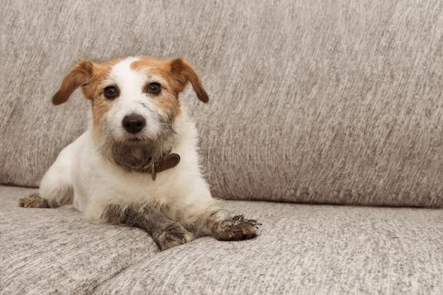 Portrait hund unfug. schmutziger jack russell, der auf sofamöbeln mit den schlammigen tatzen und schuldigem ausdruck spielt.