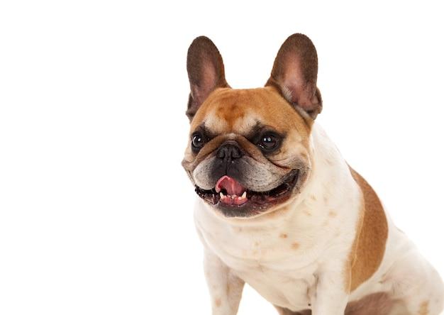 Portrait im studio einer netten bulldogge