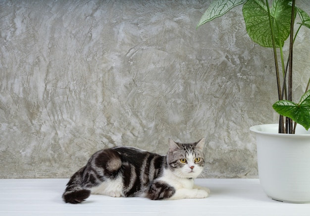 Portrait tabby cat auf holztisch mit luft reinigen zimmerpflanzen caladium bicolor vent, araceae, engelsflügel, elefantenohr in weißem topfzementwandhintergrund