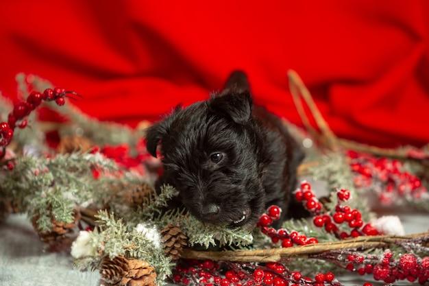 Portrait von scottish terrier welpen auf rot on