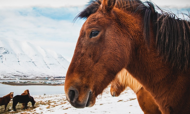 Portraits isländischer rennpferde auf einem schneebedeckten berg, geschützte reinrassige tiere.