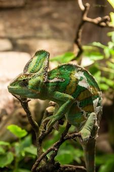 Portret grünes chamäleon auf der plante