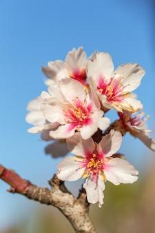 Portugiesische mandelblüten während der blüte. alentejo.