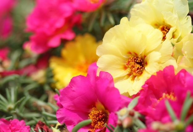 Portulaca-grandiflorablume